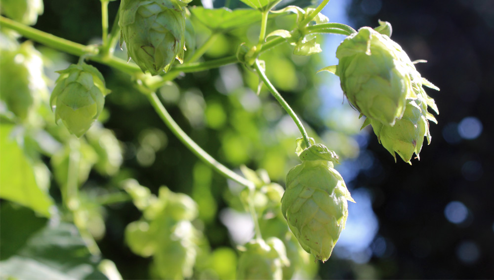 Advances in hop extraction with supercritical carbon dioxide