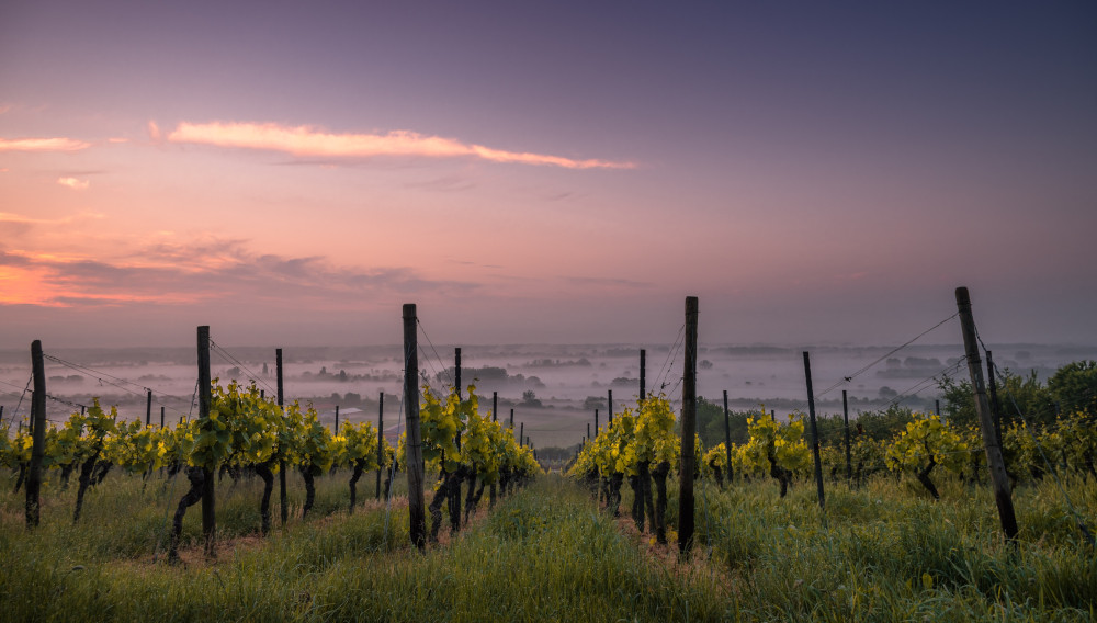 Vineyard (Photo: Karsten Wurth on Unsplash)