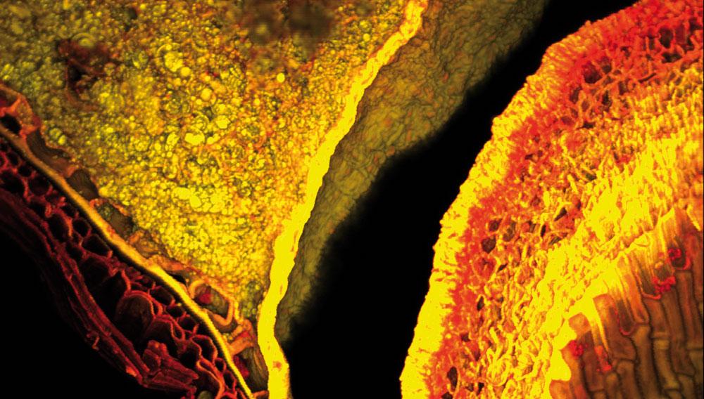 Roggenmalzkorn in der Konfokalen Laser-Scan-Mikroskopie (CLSM)