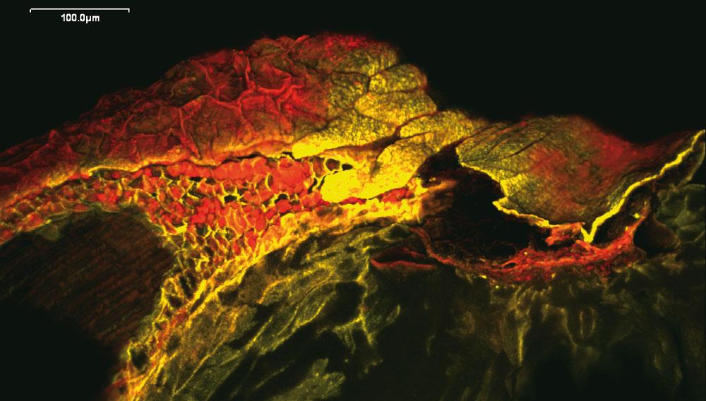 Quinoa (Malz) in der konfokalen Laser-Scan-Mikroskopie (CLSM); Blick auf Perispermgewebe mit Endospermzellen über der Wurzelspitze (rotgefärbtes Gewebe links im Bild); die Balkenlänge kennzeichnet 200 µm